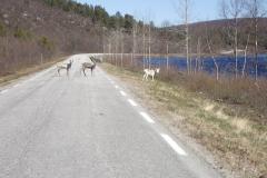 Rentiere blockieren die Fahrbahn